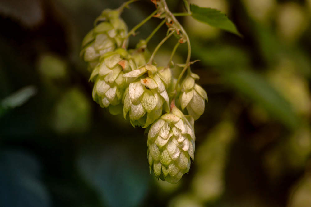 Hops - an abundant source of antioxidants. Methods to assessment of antioxidant activity of hop matrix