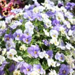 Beautiful photo of purple and white spring flowers at Lakewood Senior Living
