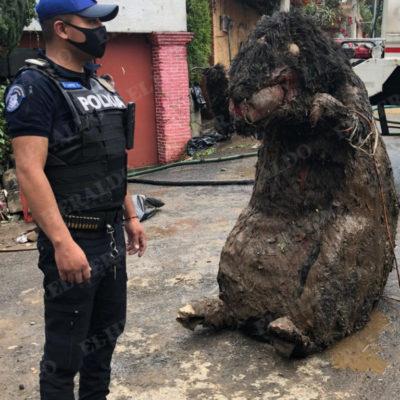 Botarga de rata gigante