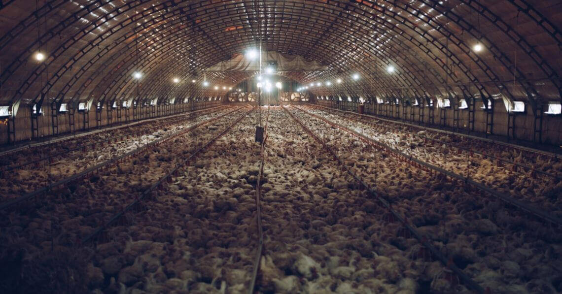 Industrialized poultry farm