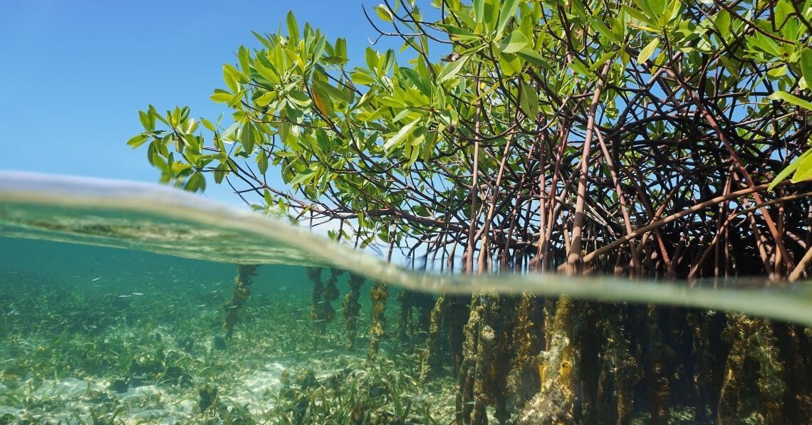 Mangroves roots under and above water