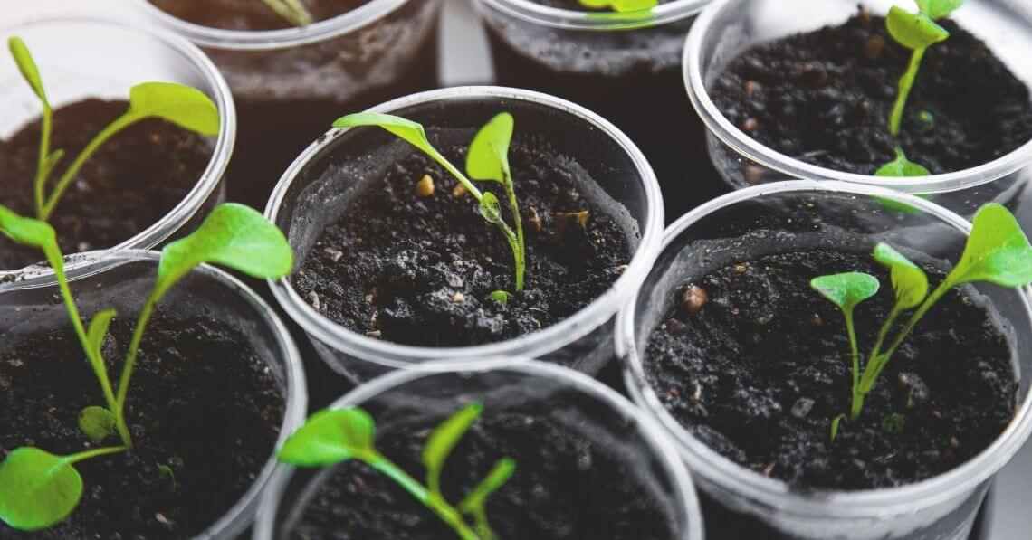 Sprouting seeds in recycled cups