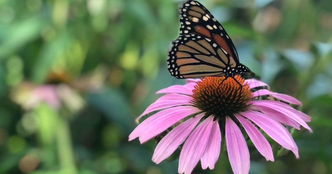 A butterfly on an echinacea flower