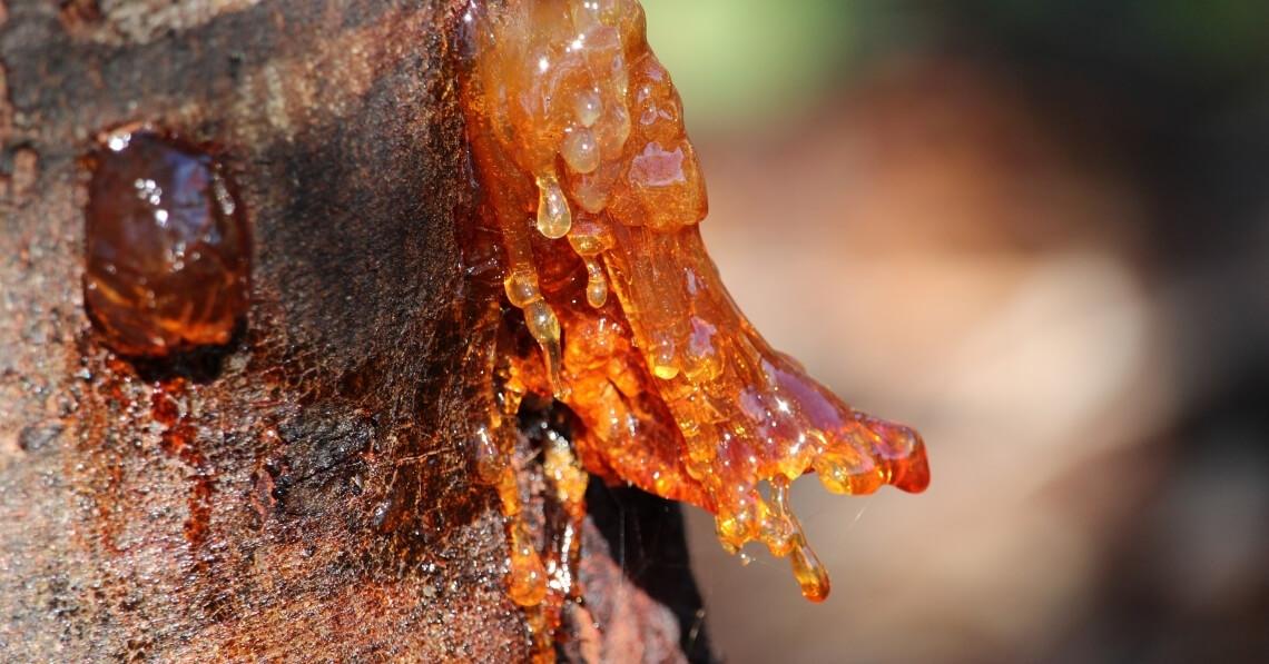 Acacia gum on tree