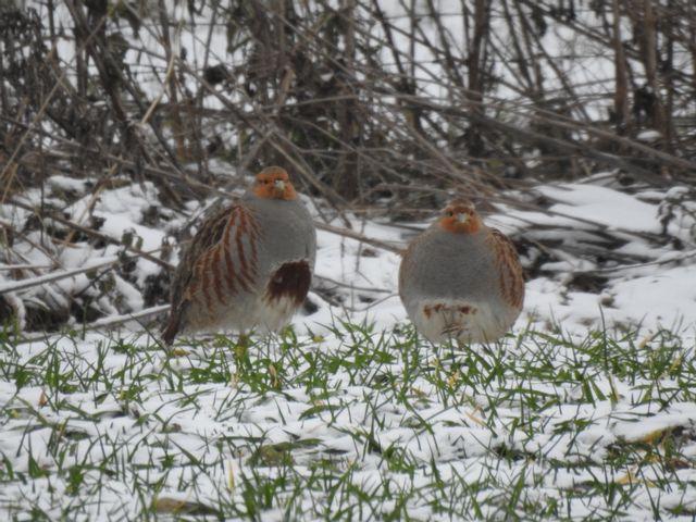 Wintervögel - Sichere Bestimmung anhand Gesang, Verhalten und Aussehen