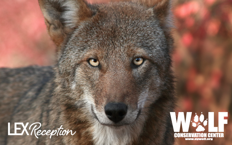 Red wolf conservation with the Wolf Conservation Center