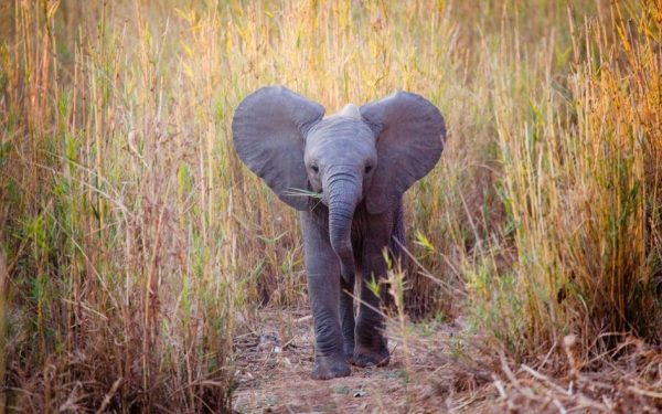 Young elephant walking alone through tall grass