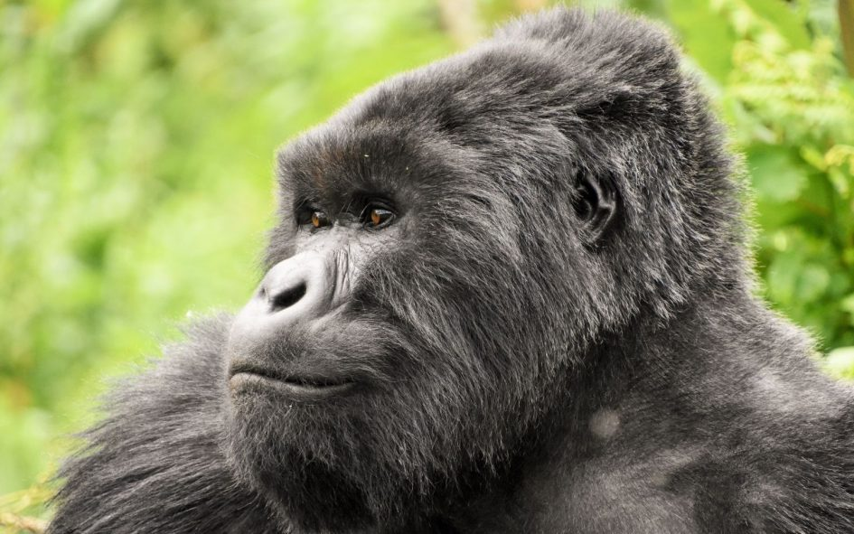 Mountain gorilla in a forest