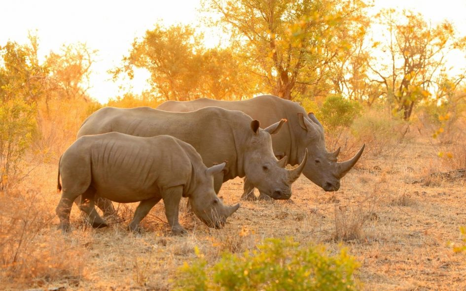 Rhino protection by the IRF