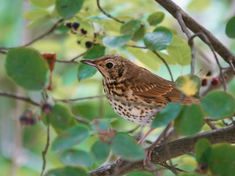 Song thrush perched on a branch