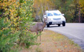 Assurance auto: quelle indemnisation en cas de collision avec un animal sauvage?