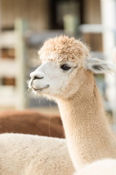 Alpaca Farm Engagement Session