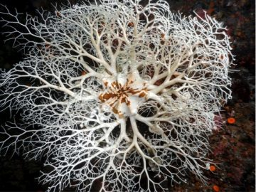 Basket Star in the Ocean