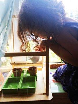 Child watching basil grow