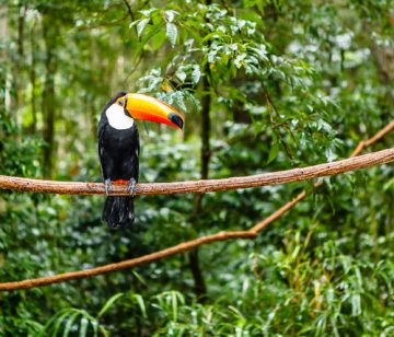 toucan in a rainforest brazil