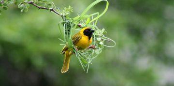 African Masked Weaver builds a nest