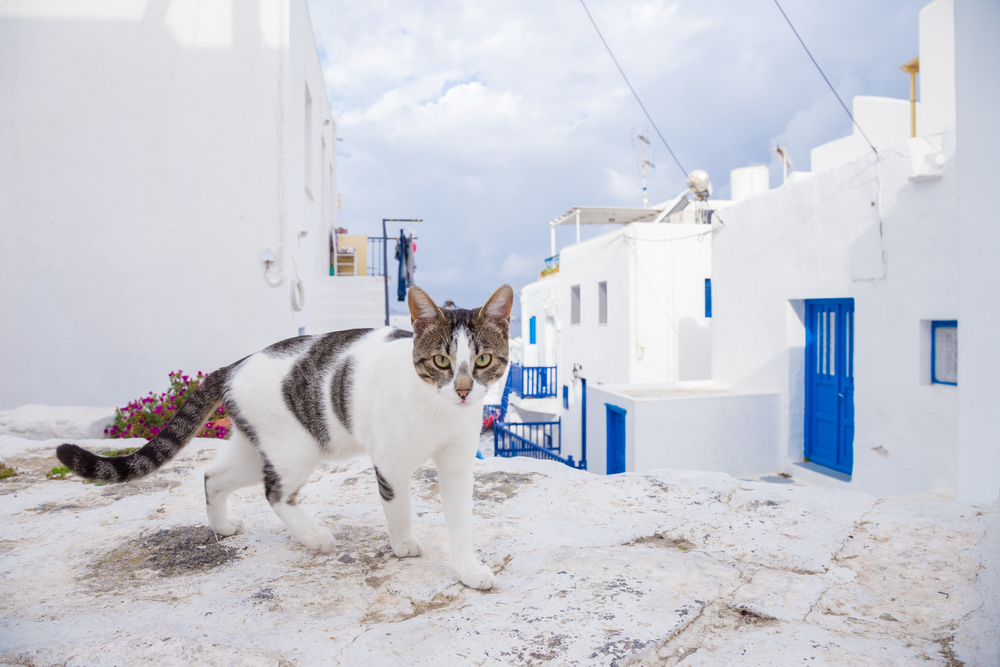 grey and white cat strolling along the streets of Santorini - Little Passports photo gallery