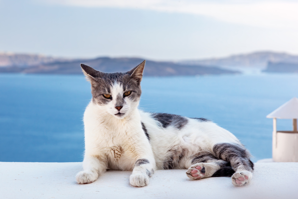 grey and white cat relaxing on a ledge in Santorini - Little Passports photo gallery