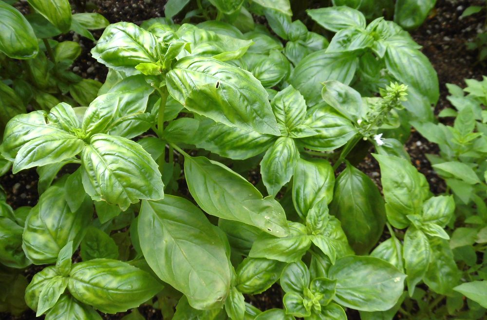 Use basil leaves to relieve itchy bug bites; advice from Little Passports