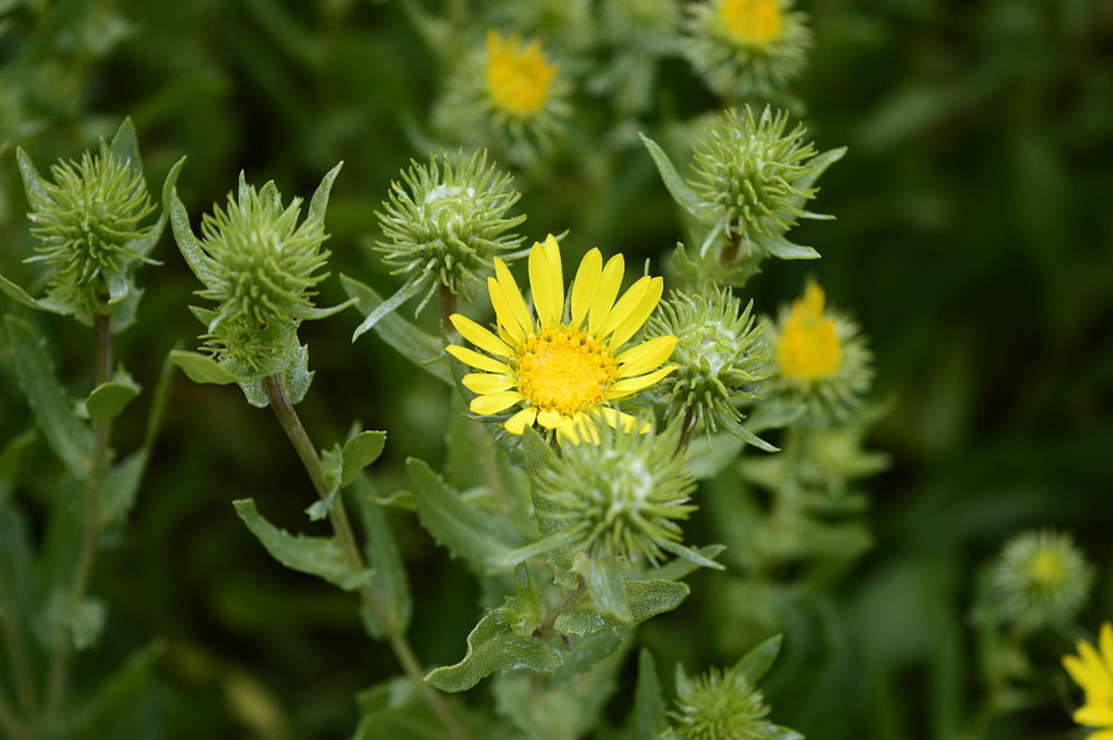 Use gumweed to relieve a rash from poison ivy; advice from Little Passports