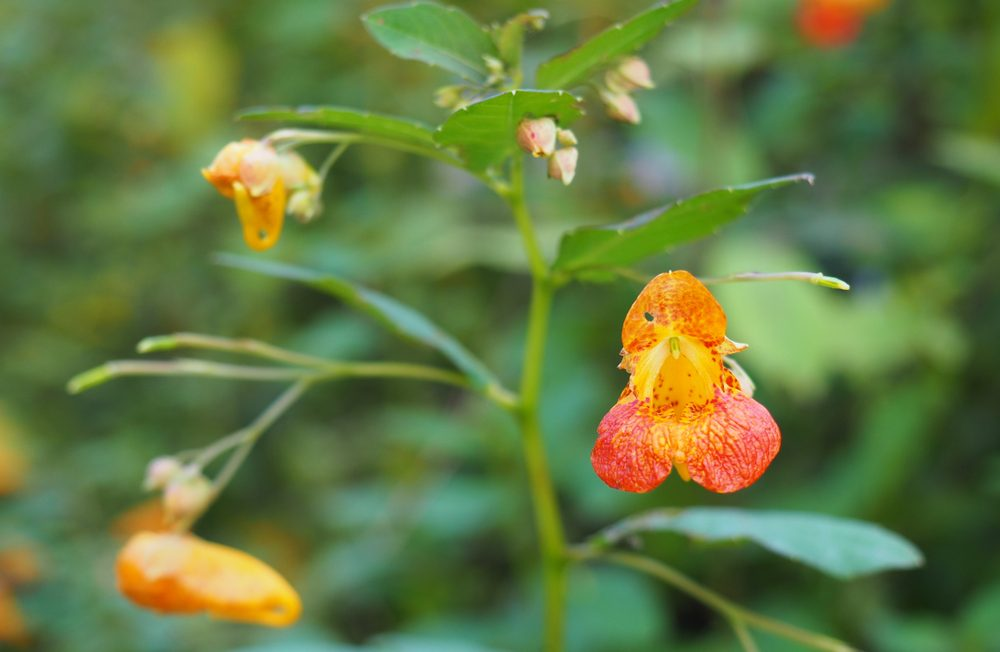 Use jewelweed to relieve a rash from poison ivy; advice from Little Passports