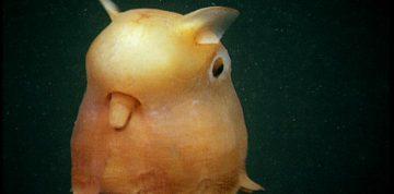 Dumbo octopus in the ocean