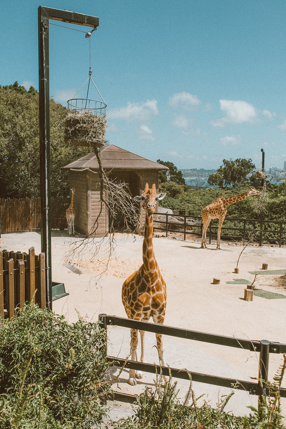 livvyland-blog-olivia-watson-austin-texas-fashion-travel-lifestyle-blogger-sydney-melbourne-australia-taronga-zoo-giraffes-1