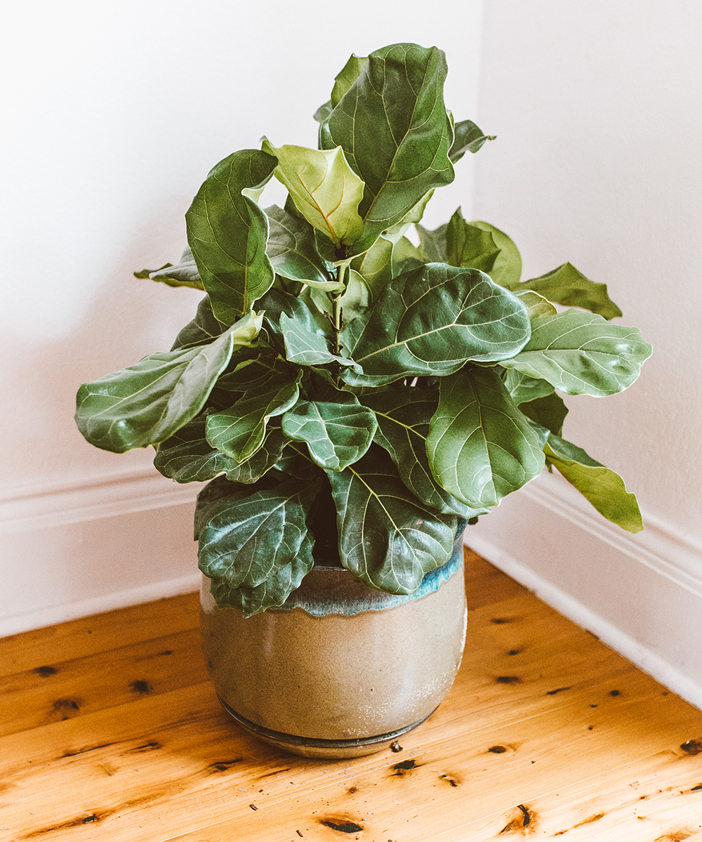 livvyland-blog-olivia-watson-austin-texas-lifestyle-blogger-home-decor-fiddle-leaf-tree-how-to-1