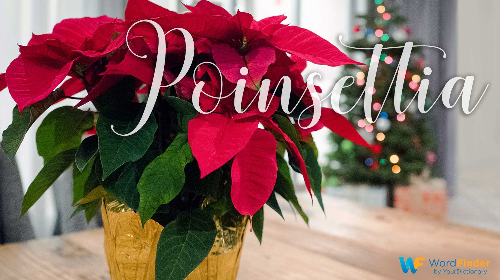 christmas word meaning poinsettia