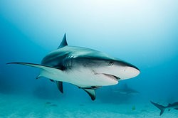 Shark swimming in the ocean as examples of natural selection