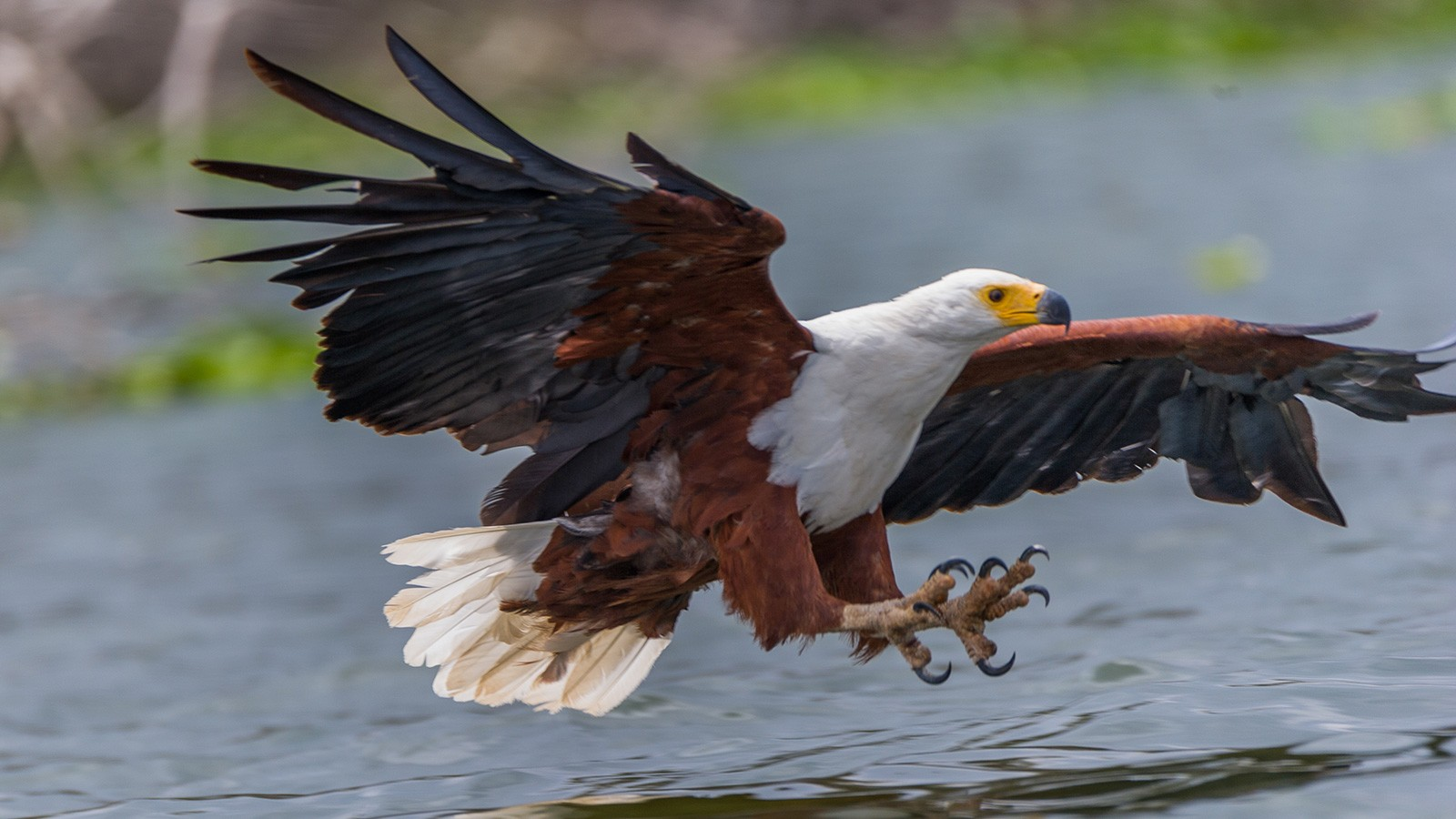 carnivorous african eagle about to catch fish
