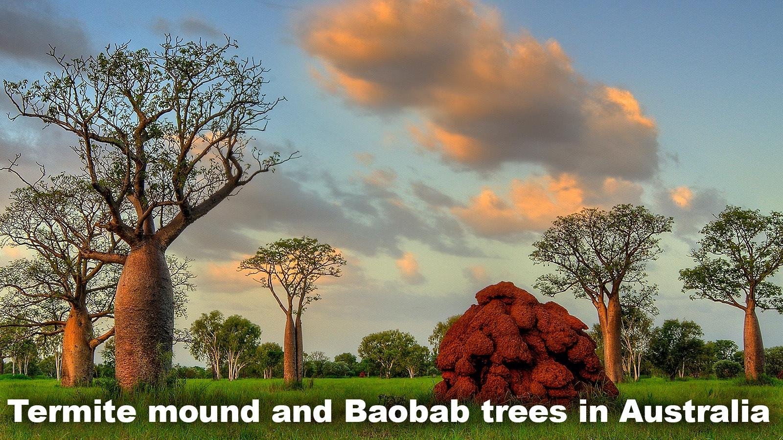 Savanna grasslands Baobab trees in Australia