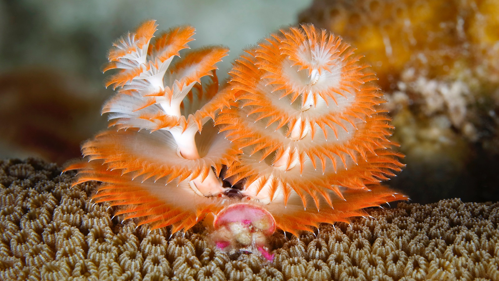 Christmas Tree Worm decomposer in ocean