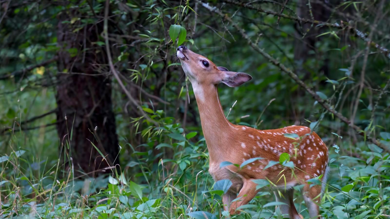 herbivore deer eating leaves on tree