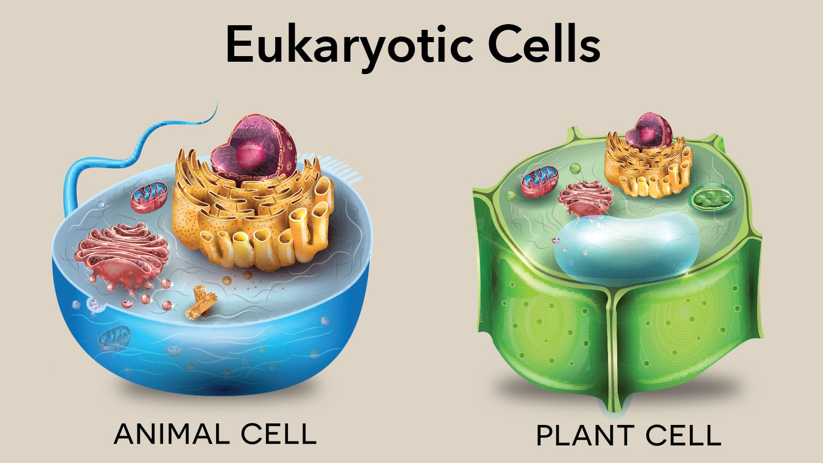 Diagram of Animal and Plant Eukaryotic Cells