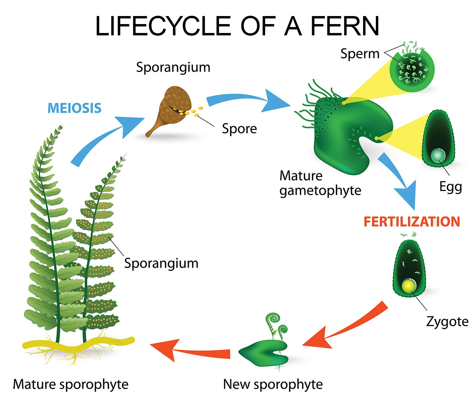 lifecycle of a fern