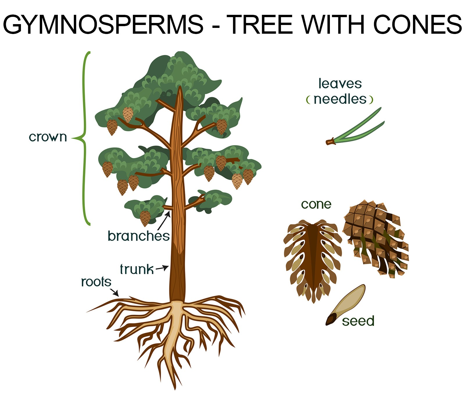 gymnosperms tree with cones example
