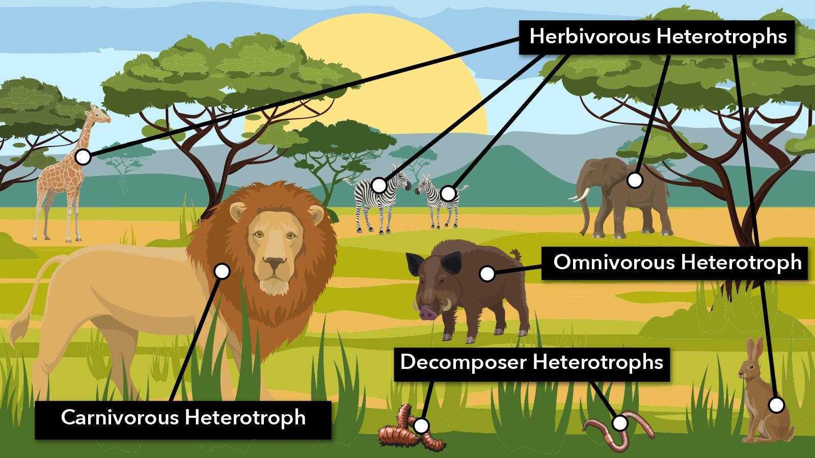 African savanna heterotrophs in food chain