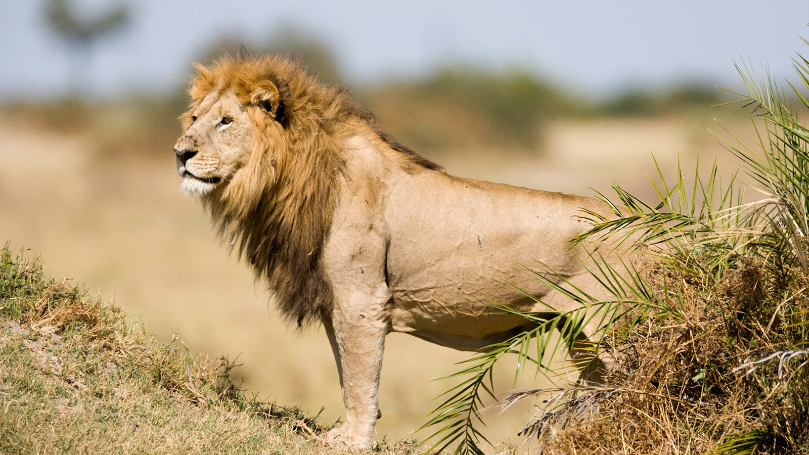 a male lion is a carnivore