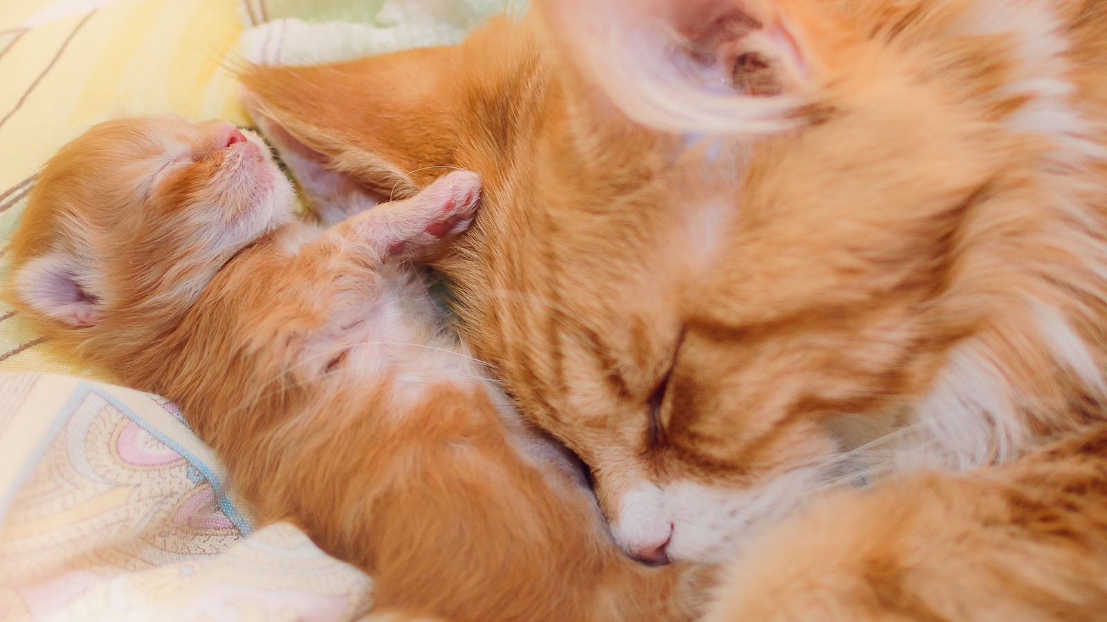 The mama cat takes good care of her kitten.