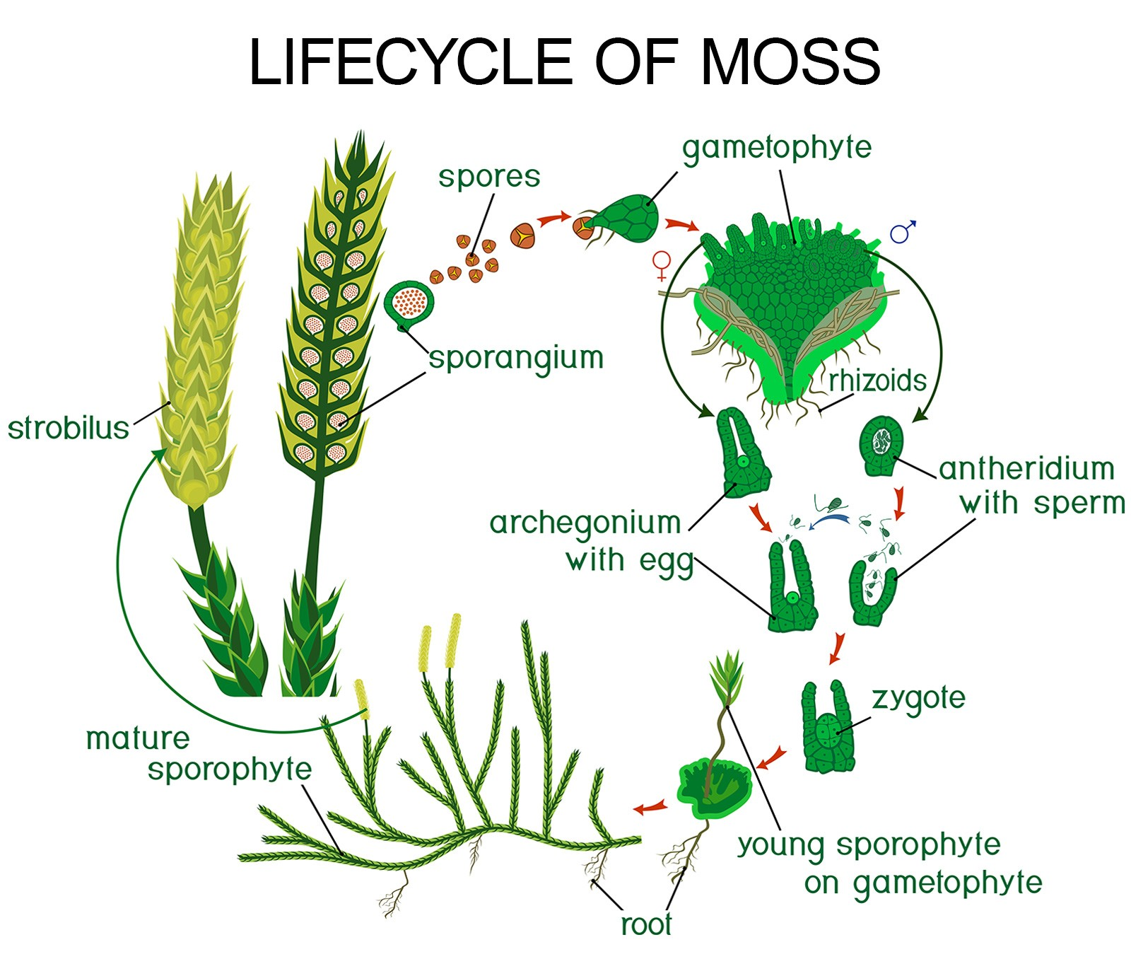 lifecycle of moss