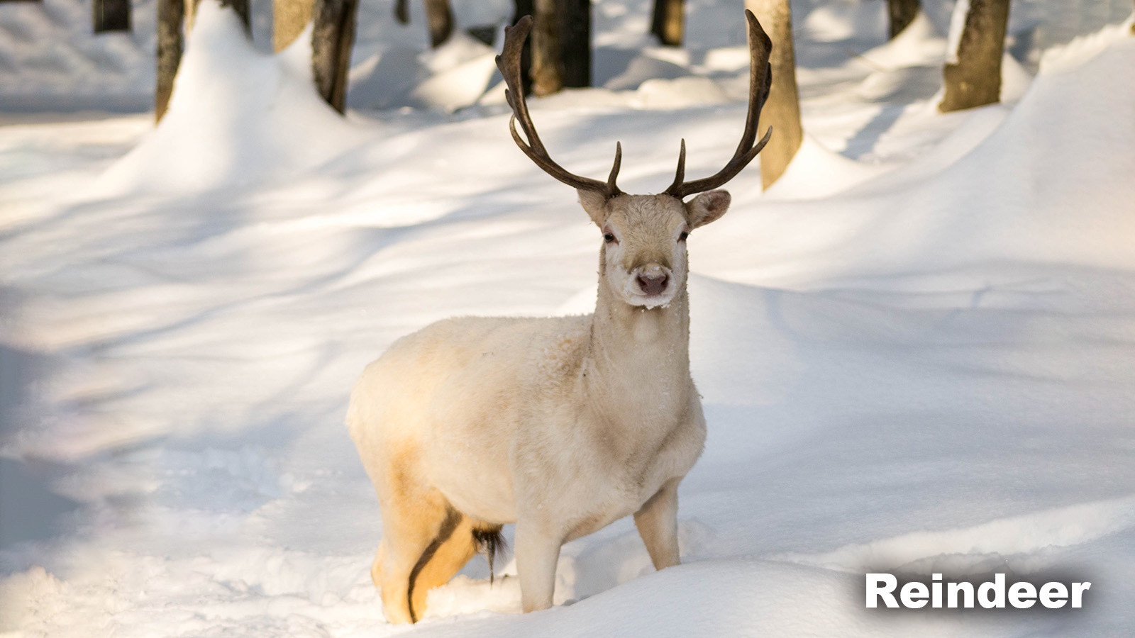 Taiga Biome animal Reindeer