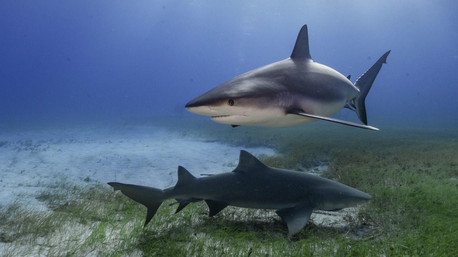 Example of Carnivorous Heterotroph Sharks