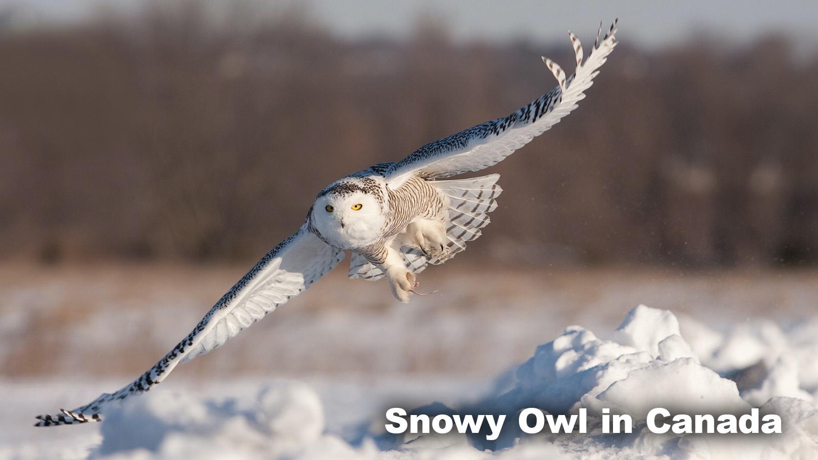 Snowy Owl in Tundra Biome