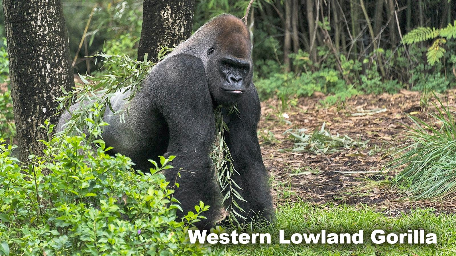 Rainforest Biome animal Western Lowland Gorilla