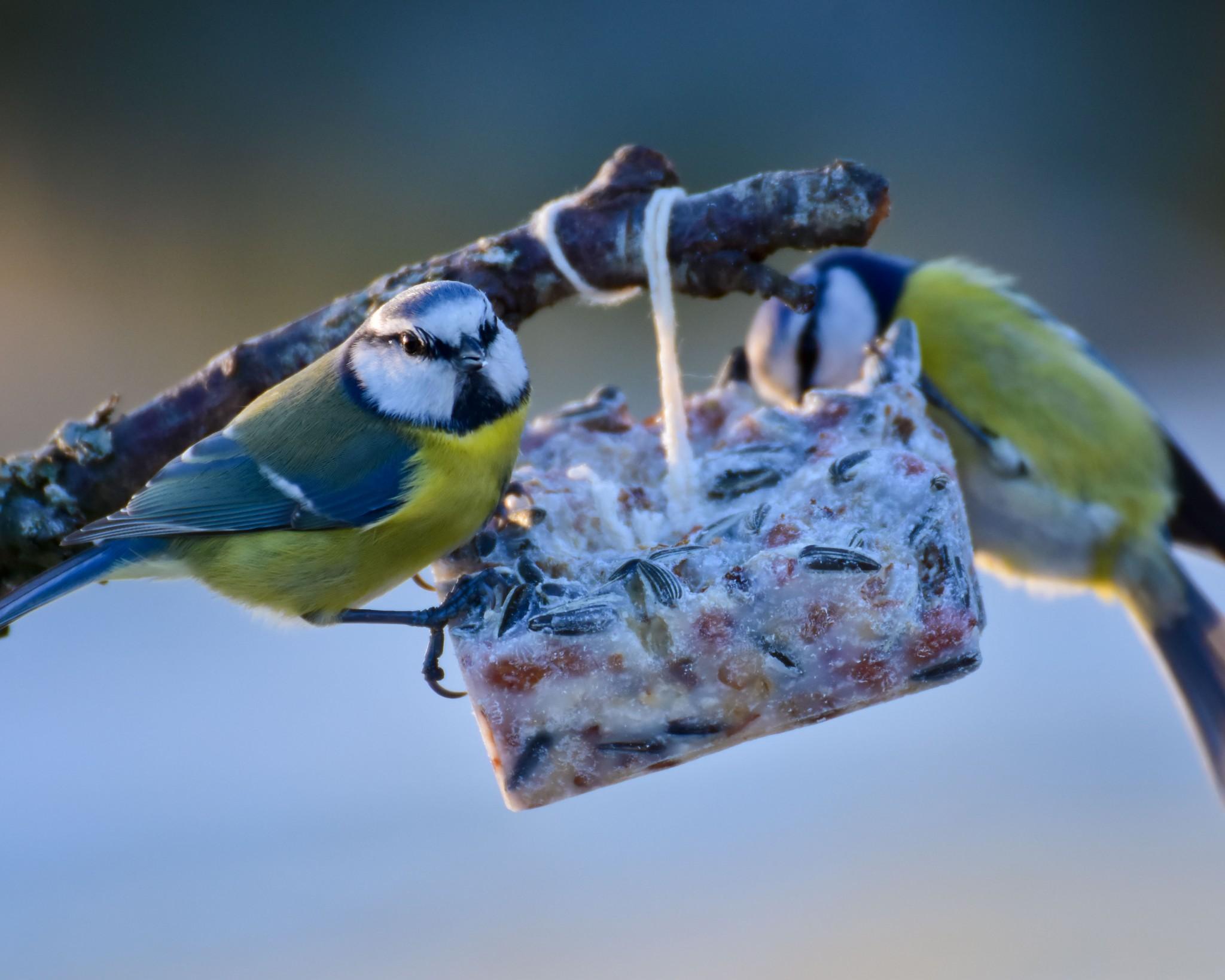 DIY Meisenknödel: Vogelfutter selber machen