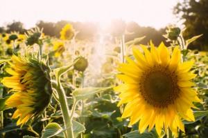 Sonnenblumen bringen Sommerfeeling (Foto: Unsplash)