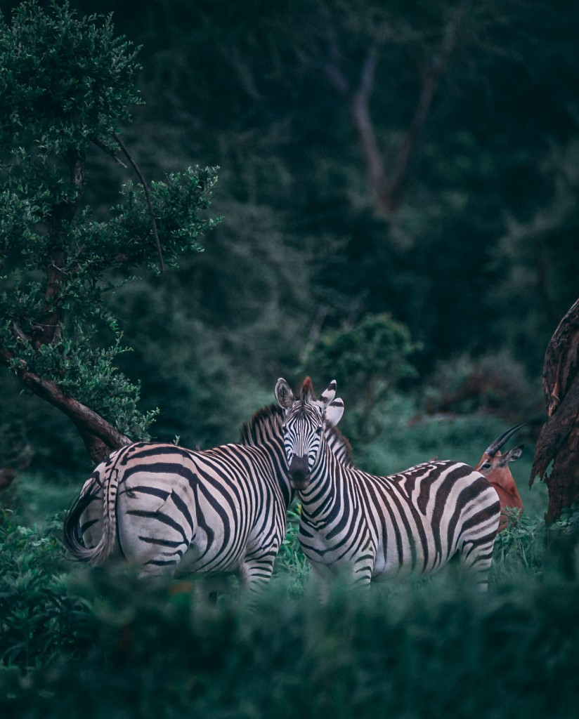 Zebras bestaunen im Central Park Zoo (Foto: Unsplash)