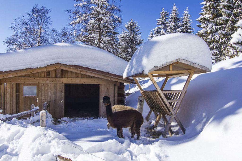 Kinderhotel Oberjoch Alpaka Schnee