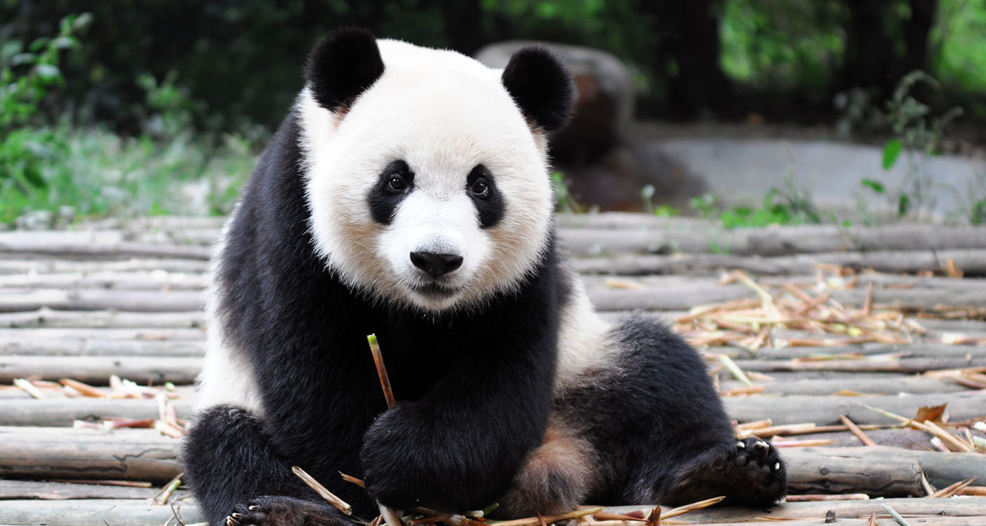 Pandabären: Warum Babys so selten sind